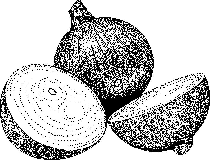 Free Onion Cliparts Download Free Clip Art Free Clip Art