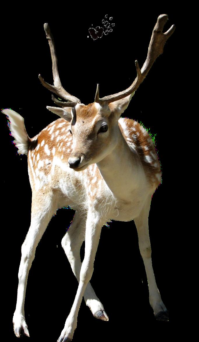 Deer Transparent