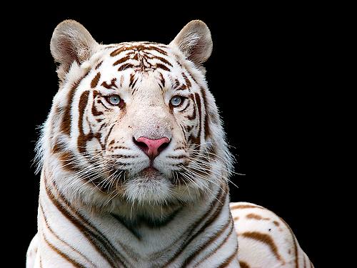 Free White Tiger PNG Transparent