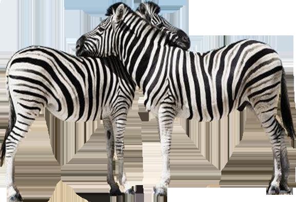 Free Zebra PNG Transparent Images, Download Free Clip Art ...