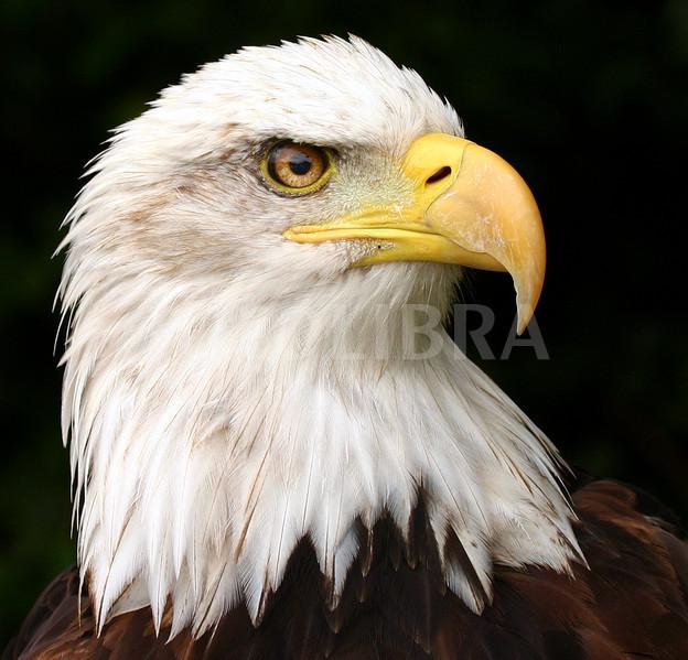 free eagle head download free clip art free clip art on
