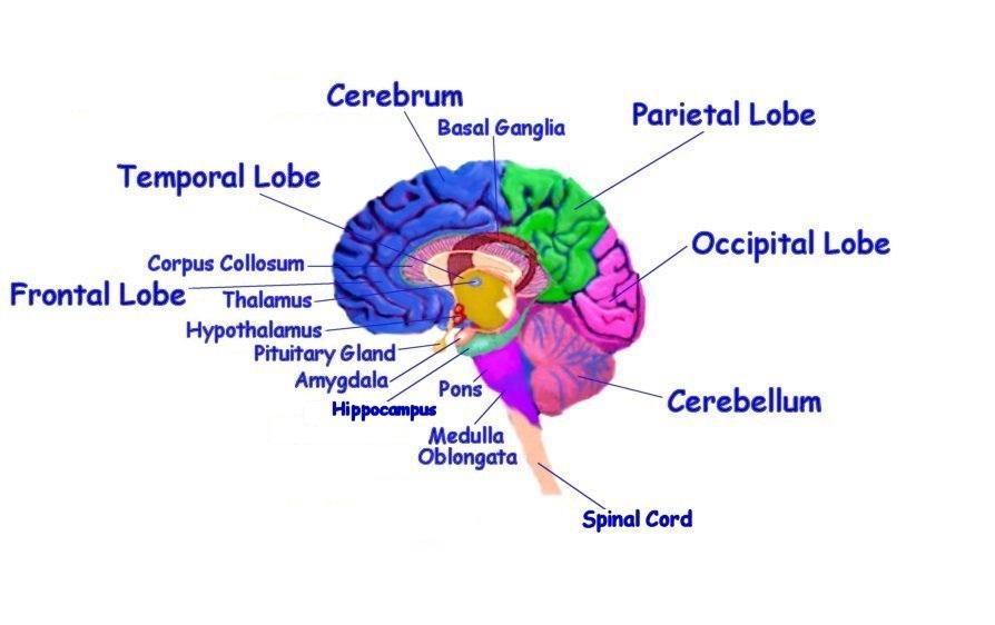 The Human Brain Diagram Quizlet | Diagram