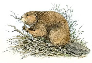 Free Beaver, Download Free Clip Art, Free Clip Art on ...