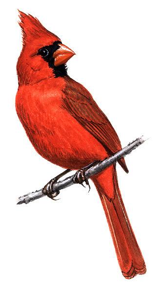 free ohio state bird  download free clip art  free clip tooth clipart patterns tooth clipart google