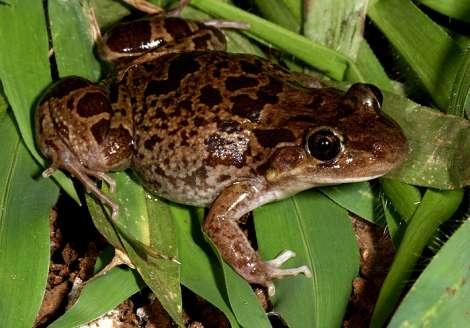 Frogs Western Australian Museum