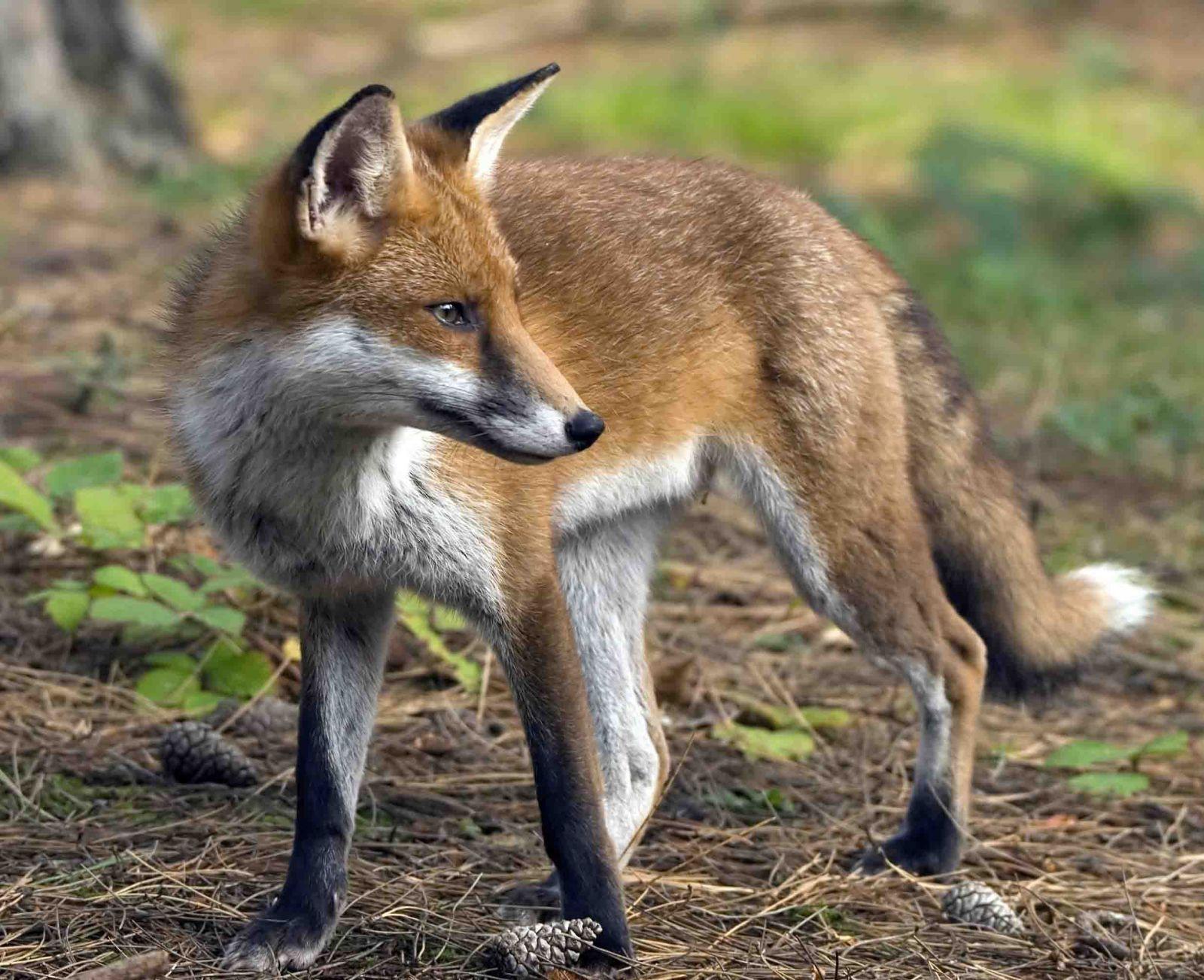 Fox spirit animal totems - How do you make wild animal in little alchemy ...