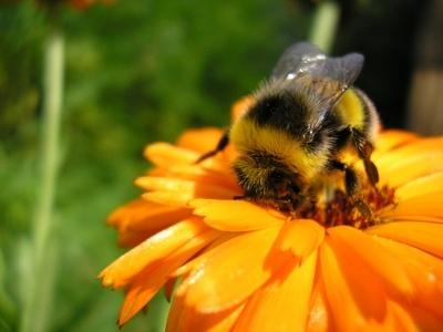 Fuzzy Little Bumblebee 187 A Cute A Day
