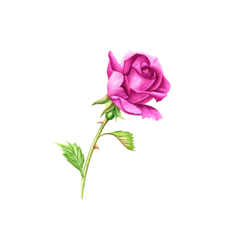 Free Single Pink Rose, Download Free Clip Art, Free Clip ...