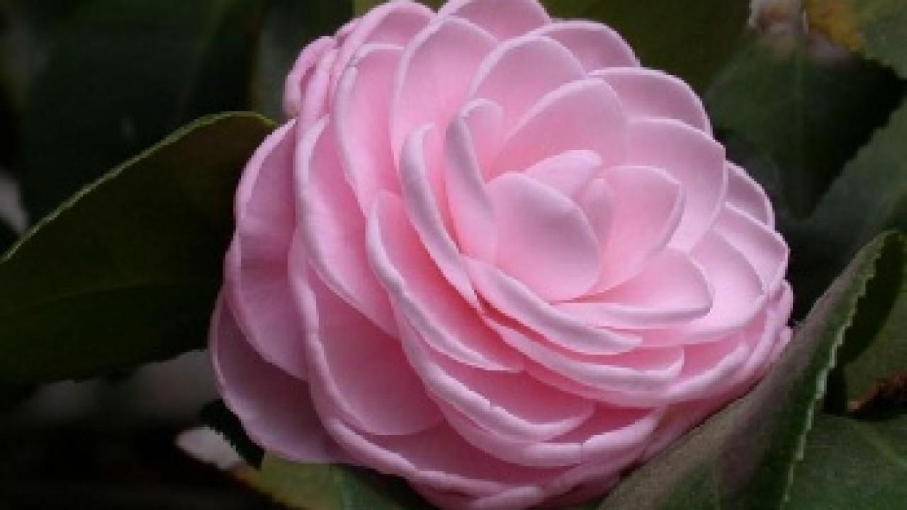 Single Rose Clipart: Free Single Pink Rose, Download Free Clip Art, Free Clip