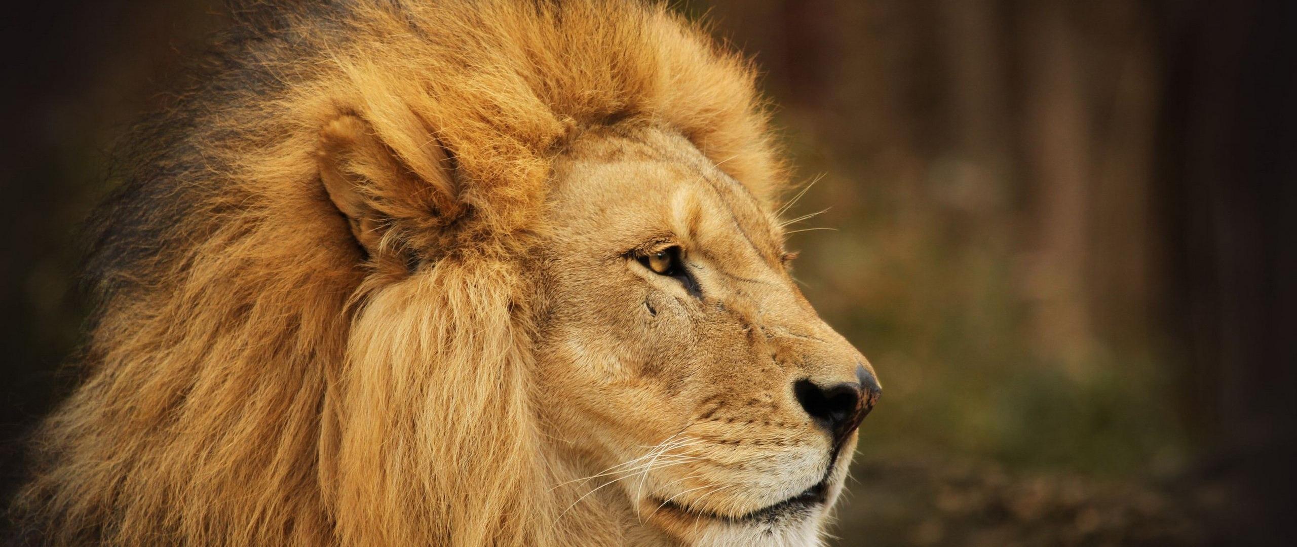 8k Animal Wallpaper Download: Free Lion Face Images, Download Free Clip Art, Free Clip