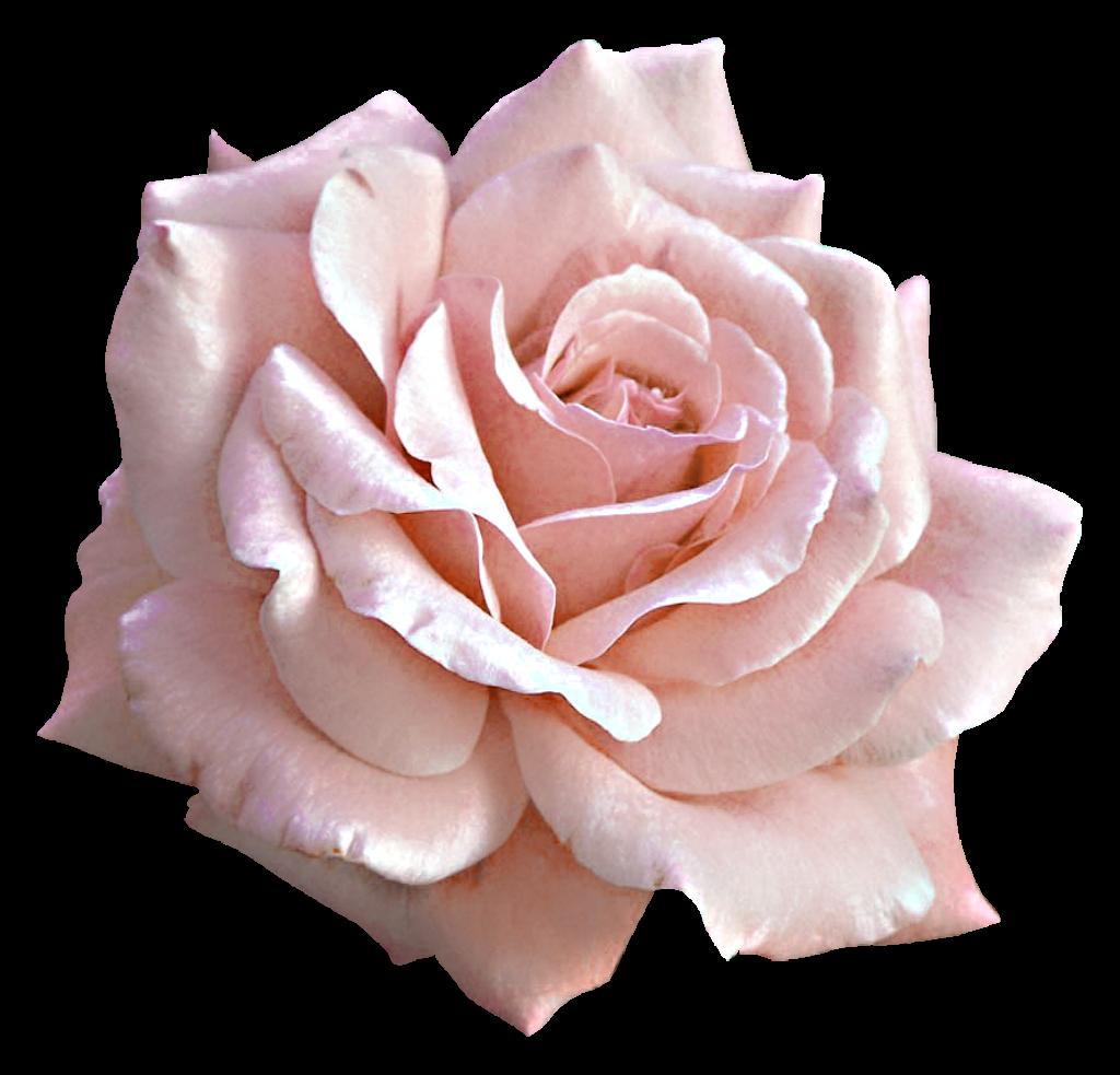 Rose Pink Flower Clip art - Large Light Pink Rose PNG Clipart png download - 1024*983 - Free ...