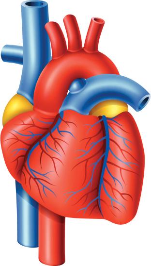 Free Heart Organ Cliparts Download