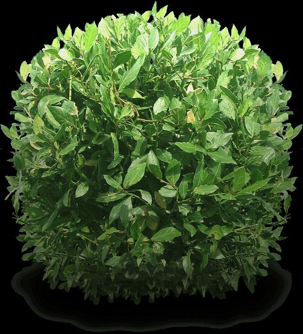 Bush Light Green Transparent Png