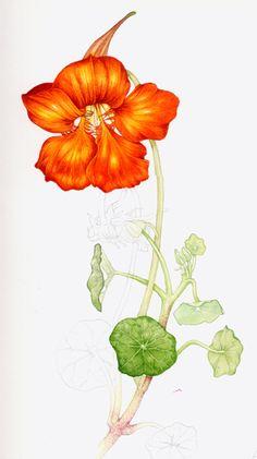 free nasturtium flower cliparts download free clip art