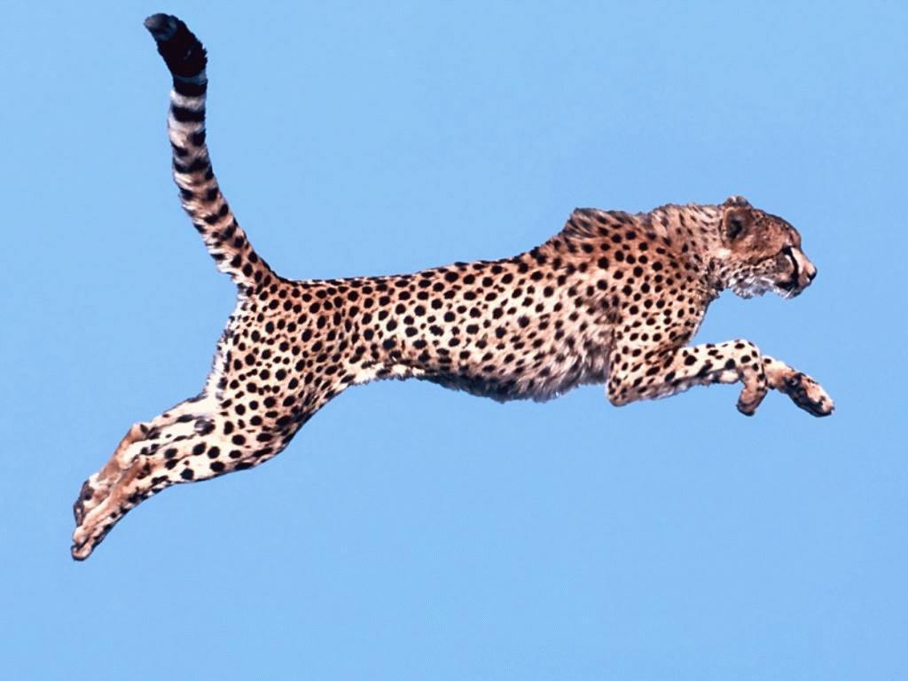 Animated Cheetah Wallpaper free cheetah moving cliparts, download free clip art, free