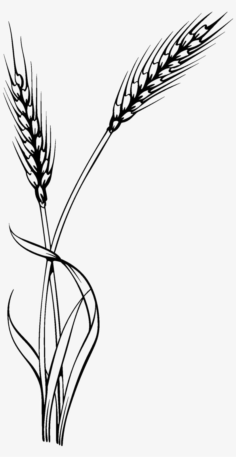 Картинка колосья пшеницы черно белые